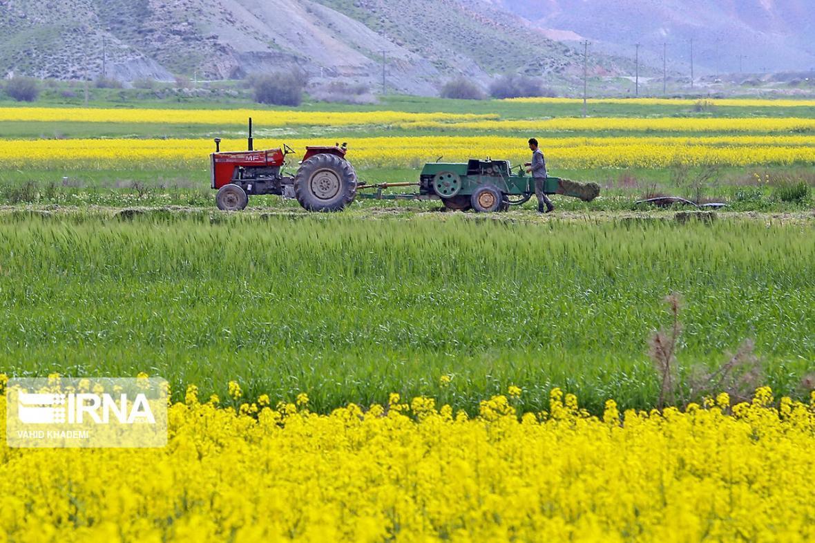 خبرنگاران برداشت هفت هزار و 100 تن دانه روغنی کلزا از مزارع فارس