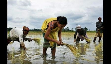 چین پس از سه دهه خریدار برنج هند شد