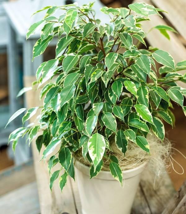 پرورش گیاه بنجامین در خانه