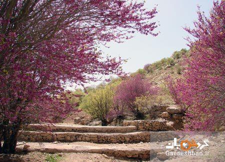 دره ارغوان ایلام؛ منطقه ای مملو از شکوفه های ارغوانی، عکس