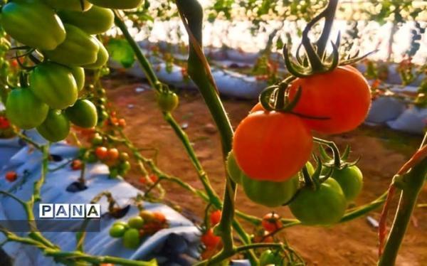 گوجه سبز میوه لوکس است؛ هر کیلو گوجه سبز 125 هزار تومان